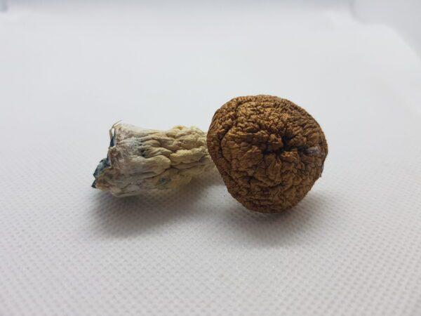 Single Amazonian Cubensis mushroom