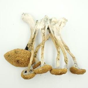 Golden Teachers mushrooms